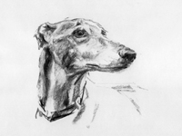 greyhound drawing sketch